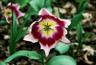 Tulpenblüte voll aufgeblüht - Tulpenblüte, blühen, Kontrast, magenta, rosa, Stempel, Staubgefäß, Frühling, Frühjahr, Frühblüher, Blütenstempel, Tulpe, Fruchtblätter, Blüte, Fruchtknoten, Samenanlage, Griffel, Narbe, Blatt, Blätter, Kronblatt, Kronblätter