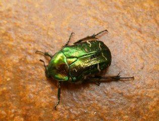 Rosenkäfer - Rosenkäfer, Goldrosenkäfer, krabbeln, Insekt, Gliedertier, geschützt, Blatthornkäfer, schillern, glänzen, glänzend
