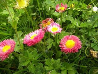 Rote Gänseblümchen - Blüte, Blume, Pflanze, Gänseblümchen, Bellis perennis, mehrjähriges Gänseblümchen, Maßliebchen, Tausendschön, Margritli, Kleine Margerite