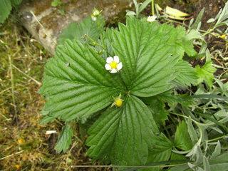 Blüte einer Walderdbeere - Erdbeeren, Walderdbeeren, Pflanzen, Obst, Garten, Rosengewächs