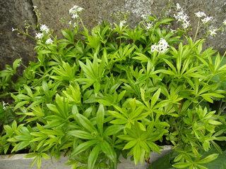 Waldmeister - Waldmeister, Rötegewächs, Labkraut, Gewürzpflanze, Maibowle, Cumarin, Duft, weiße Blüten, Wald