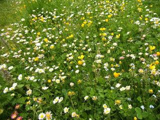 Blumenwiese im Frühling - Blumen, Blüten, Pflanzen, Wiese, Blumenwiese, Grünland, Landwirtschaft, Gräser, Gänseblümchen, Butterblume