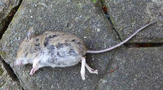 Maus #1 - Maus, klein, Nagetier, Säugetier, Fell, possierlich, tot