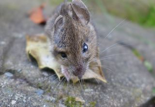 Maus #2 - Maus, klein, Nagetier, Säugetier, Haustier, Fell, knabbern, possierlich, Schnurrhaare