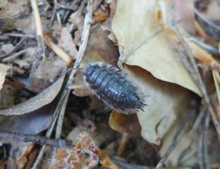 Kellerassel - Porcellionidae, Assel, Kellerassel, Isopoda, Porcellio scaber, Landassel, Krebstiere