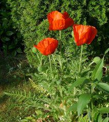 Mohnblüten - Mohn, Klatschmohn, Wiesenblume, Mohnblume, Knospe, haarig, behaart, rot, Kapsel