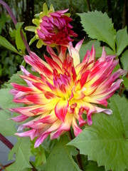 Dahlienblüte - Dahlie, Blüte, Garten, Pflanze, Blume