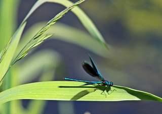 Blauflügelprachtlibelle - Libelle, Libellen, Frühling, Sommer, fliegen, Flügel, Hautflügel, Insekten, Gliederfüßler, Insekt, Flügelpaar, Gewässer, Männchen, Imago, Kleinlinelle, Zygoptera, Calopterygidae, Blauflügelprachtlibelle, Biotop, Naturschutz, Odonata