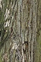 Stamm der Ulme - Ulme, Borke, Rinde, Stamm, Ulmensterben, Baum Laubbaum