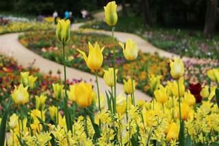 Frühlingsimpression - Park, Tulpen, gelb, Frühling, Frühjahr, Impression, gestalten, bunt, Frühblüher, Vordergrund, Hintergrund, Tulpe, Gartengestaltung, Landschaftsgestaltung