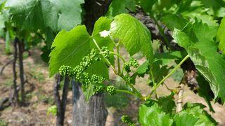 Weinstock - Wein, Landwirtschaft, Weinbau, Trauben, Weinstock, Trieb, Fruchtansatz