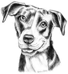 Pitbull-Terrier-Mixhündin June - Pitbull-Terrier-Mischling, Hund, Haustier