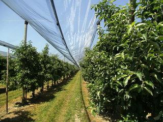 Obstbau#2 - Obstbau, Obstanbau, Obstplantage, Birnen, Anbau, Freiland, Obstanlage, Netz, Schutz, Vögel, Schädlinge
