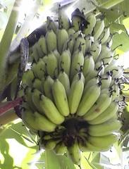 Bananen - Pflanze, Staude, Banane, Musaceae, Mineralien, Ernährung, Ballaststoffe, Blatt, Asien, immergrün, Nutzpflanze, gelb, Bananen