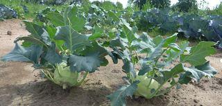 Kohlrabi - Kohlrabi, Feldfrucht, Gemüse, Knolle, Rübkohl