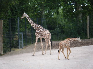 Giraffe - Wildtier, Zootier, groß, Paarhufer, Wiederkäuer, Pflanzenfresser, Afrika, Savanne, Gehege, Giraffe, Netzgiraffe, Afrika, Paarhufer, Tarnung, Camouflage