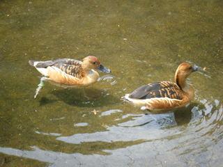 Gelbe Pfeifgans - Gelbe Pfeifgans, Gelbbrustpfeifgans, Vogel, Entenvogel