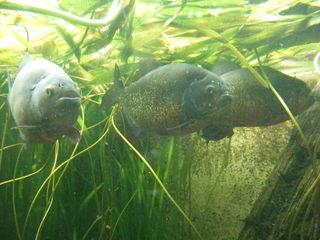 Piranhas#2 - Piranhas, Sägesalmler, Raubfisch, Süsswasserfisch, Schwarmfisch