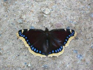 Schmetterling - Trauermantel, Schmetterling, Falter, Flügel, Symmetrie, symmetrisch, Muster