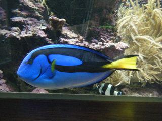 Paletten-Doktorfisch - Paletten-Doktorfisch, Knochenklinge, Verteidigung, Aquarienfisch, Meerwasserfisch
