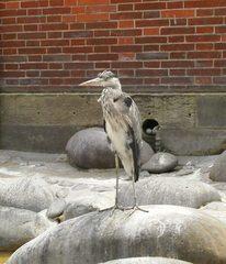 Graureiher - Graureiher, Fischreiher, Ardea cinerea, Schreitvogel, Vogel, Reiher, Tagreiher