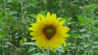 Sonnenblume #1 - Sonnenblume, Blume, Spätsommer, Herbst, Korbblütler, Blüte