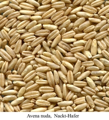 Nackthafer - Getreide, Hafer, Brot, Hafer, Haferflocken, Korn