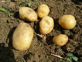 Saatkartoffeln#4 - Kartoffel, Speise, Knolle, Ernte, frisch, Schale, Stärke, hellbraun, eiförmig, groß, klein, Garten, Anbau, Grundnahrungsmittel, Erdapfel, Speisekartoffel, Nahrungsmittel, Beilage