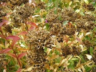 Samenstand der Bartnelken - Bartnelke, Zierpflanze, Gartenpflanze, Samen, Vermehrung, zweijährig