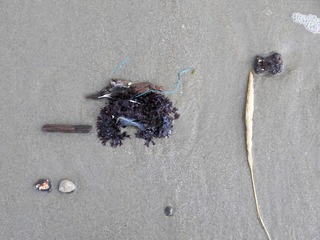 Strandgut im Spülsaum - Strand, Meer, Nordsee, Strandgut, Seetang, Alge, Schreibanlass