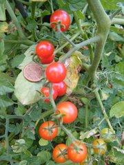 Johannisbeertomate #1 - Tomate, Paradeiser, Nachtschattengewächs, Frucht, Gemüse, rot