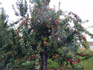 Apfelbaum - Apfelbaum, Äpfel, Obst, Apfel, Frucht, Rot-Grün, Komplementärkontrast