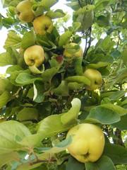 Quitten #1 - Quitte, Quitten, reif, gelb, quittengelb, Kernobst, Frucht, Marmelade