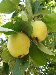 Quitten #2 - Quitte, Quitten, reif, gelb, quittengelb, Kernobst, Frucht, Marmelade