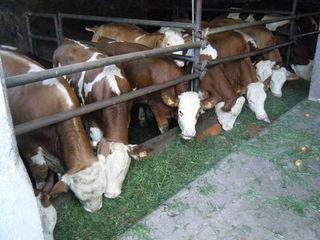 Kühe im Stall #1 - Kuh, Rindvieh, Tier, Nutztier, Milch, Fleckvieh, Wiederkäuer, Haustier, Tierhaltung, Bauernhof