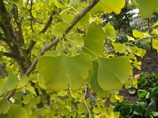 Ginkgo - Heilpflanze, Zierbaum, Goethe, Ginkgo, ginkgo biloba, fernöstlich, asiatisch, China, Baum, Laubbaum, nacktsamig, Fossil, einmalig, fächerförmig, lebendes Fossil, männlich und weiblich, Blatt, Blätter, zwei, Heilpflanze, zweihäusig