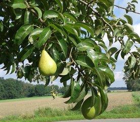 Birnen am Baum - Birne, Birnen, Obst, Frucht, saftig, Kernobst, Herbst