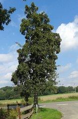 Birnbaum mit Früchten - Birne, Birnen, Obst, Frucht, saftig, Kernobst, Herbst