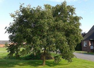 Walnussbaum - Walnuss, Nuss, Natur, heimische Pflanzen, Nahrungsmittel, Baum, Laubbaum, Frucht, Nussbaum, unreif, Umhüllung, Blätter