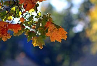 erste Herbstboten #1 - Herbstfarben, Herbst, Blattfärbung, Sonne, Himmel, Herbstlaub, Laub, Blätter, bunt, Jahreszeit, Ahorn, Sonne, Impression, Meditation, Hintergrund, Stimmung, Farbenspiel, Farbe