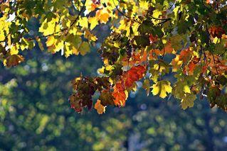 erste Herbstboten #2 - Blattwerk, Herbst, Lichtspiel, Herbstfarben, Herbst, Blattfärbung, Sonne, Himmel, Herbstlaub, Laub, Blätter, bunt, Jahreszeit, Ahorn, Sonne, Impression, Meditation, Hintergrund, Stimmung, Farbenspiel, Farbe, Oktober