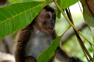 Makake - Affe, Makake, Primatengattung, Primat, Allesfresser, Backentaschenaffen, pavianartig