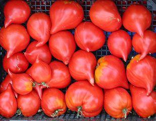 reife Tomaten - Tomate, Tomate, Pflanze, Paradeiser, Paradiesapfel, Nachtschattengewächs, rot, reif, einjährig, Kiste, Stiege, Gemüse, Frucht, Anlaut T