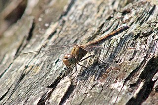 Libelle - Große Heidelibelle #1 - Libelle, Großlibelle, Flugkünstler, Flügel, Insekt, braun, Facettenaugen, Flügel, Gewässer, Libelle, Libellen, Herbst, Sommer, fliegen, Hautflügel, Insekten, Gliederfüßler, Flügelpaar, Weibchen, Imago, Biotop, Naturschutz