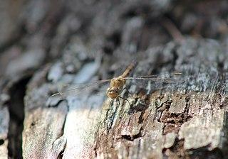 Libelle - Große Heidelibelle von vorn #2 - Libelle, Großlibelle, Flugkünstler, Flügel, Insekt, braun, Facettenaugen, Flügel, Gewässer, Libelle, Libellen, Herbst, Sommer, fliegen, Hautflügel, Insekten, Gliederfüßler, Flügelpaar, Männchen, Imago, Biotop, Naturschutz