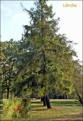 Lärche - Lärche, Nadelbaum, Kieferngewächs, Pinaceae, Nadel, Nadeln, Büschel, Herbst, Zapfen, rundlich, Herbst, Baum, Gewächs, grün
