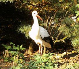 Storch - Vogel, Zugvogel, groß, schwarz-weiß, Storch, Weißstorch