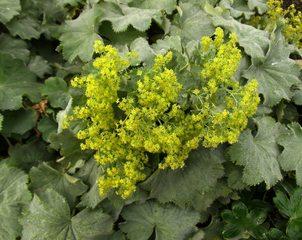 Frauenmantel - Frauenmantel, Rosengewächs, Heilpflanze, Floristik