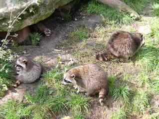 Waschbärfamilie - Waschbären, drei, Menge, Waschbär, Pelztier, Frettchen, beobachten, neugierig, Zootier, Säugetier, Kleinbär, Fell, Tatzen