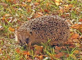 Igel im Herbst - Igel, stachelig, Insektenfresser, Herbst, Säugetier, überwintern, untergewichtig, Schreibanlass, Nase, Augen, Schnauze, Schnäuzchen, Stachel, Jungtier, wild, Wildtier, Tier, Heimat